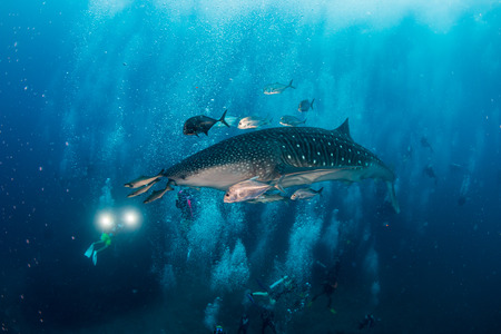 A large Whale Shark is surrounded by SCUBA divers as it swims along a tropical coral reef in Thailand Stock Photo
