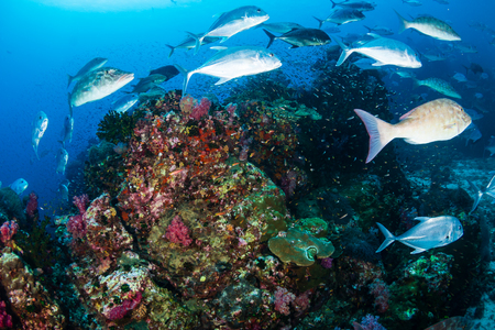 Bluefin Trevally and Emperor hunting on a tropical coral reef
