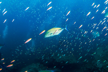 Bluefin Trevally hunting at sunset on a tropical coral reef