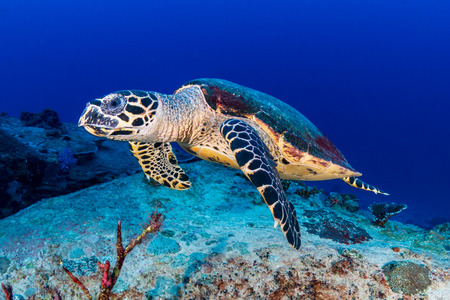 Hawksbill Sea Turtle feeding on a tropical coral reef