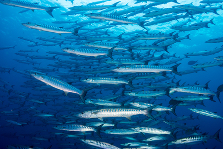 School of Barracuda swimming in blue water above a tropical coral reef