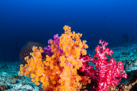 Beautiful, brightly colored soft corals on a tropical coral reef Stock Photo