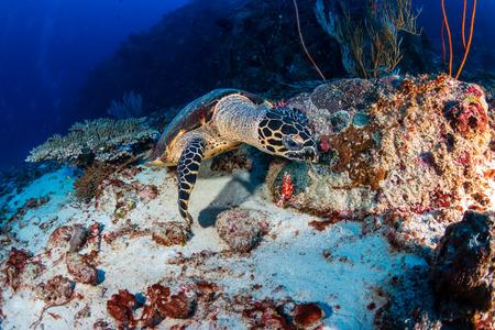 Hawksbill Sea Turtle feeding on a tropical coral reef