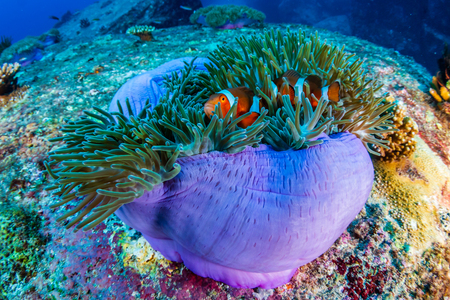 Beautiful Clownfish on a tropical coral reef