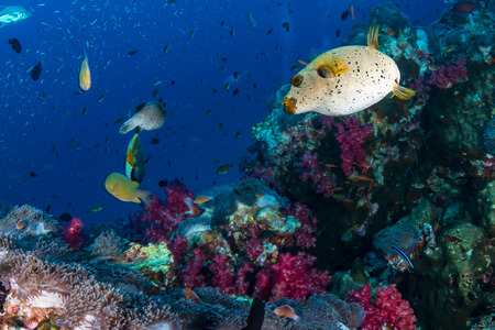Cute Pufferfish on a tropical coral reef