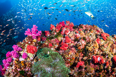 Tropical fish swimming around a healthy, colorful tropical coral reef Stock Photo