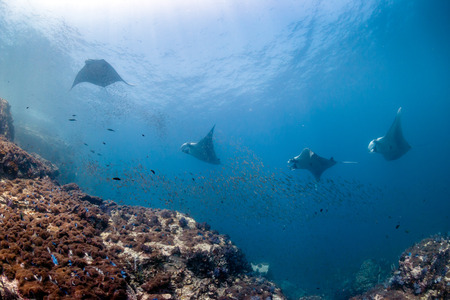 Several huge Manta Rays circle over a cleaning station on a tropical coral reef