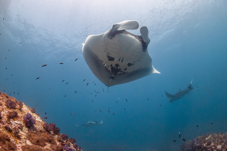 Multiple huge Oceanic Manta Rays swimming over a tropical coral reef