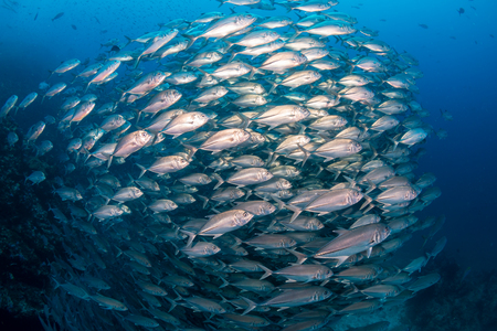 A huge school of fish in blue water above a tropical coral reef