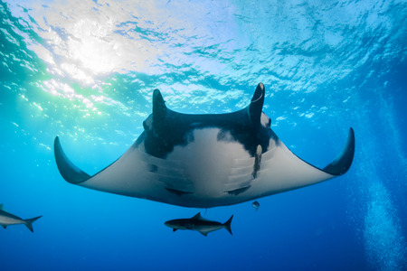 Huge majestic Oceanic Manta Ray with Cobia and fish swimming in blue water