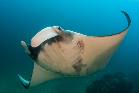 Majestic Oceanic Manta Ray swimming in a clear, blue ocean 写真素材