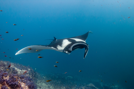 Huge Oceanic Manta Ray swimming over a colorful, healthy tropical coral reef