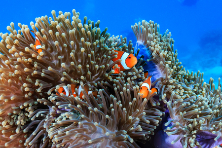 Family of Clownfish on a tropical coral reef Stock Photo