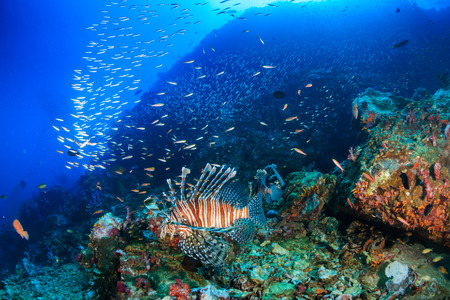 Predatory Lionfish hunting at dawn on a tropical coral reef Stock Photo