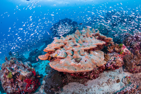 Hard corals on a tropical coral reef in Thailand