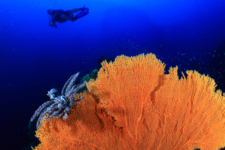 Huge delicate Sea Fan on a tropical coral reef Stock Photo - 101091685