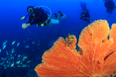 SCUBA diver swimming over a huge underwater Sea Fan on a coral reef