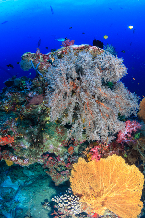 Huge delicate Sea Fan on a tropical coral reef Stock Photo