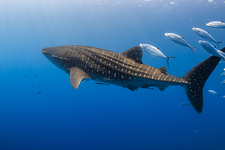 gran natación tiburón nadando en el agua poco profunda sobre un arrecife de coral tropicales
