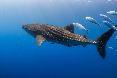 Großer Walhai, der im flachen Wasser über einem tropischen Korallenriff schwimmt
