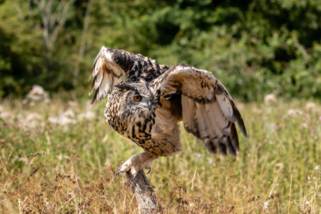Beautiful Eagle Owl taking off from a long, grassy field