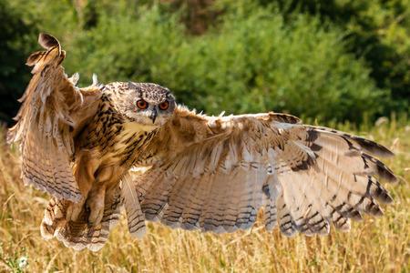 Beautiful european Eagle Owl landing in a dry, yellow meadow