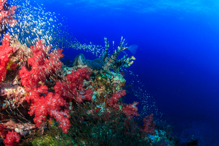 Beautiful Red Lionfish swimmong on a colorful tropical coral reef