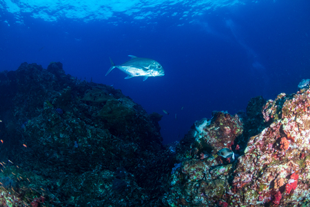 Trevally patrolling a dark, tropical coral reef at dawn Stock Photo