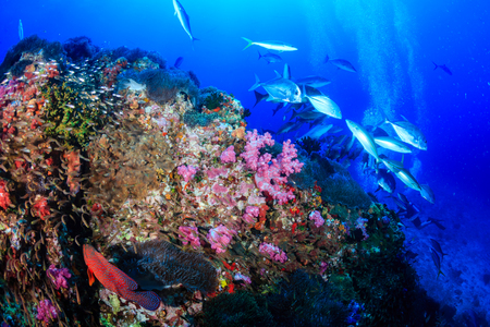 A huge school of Giant Trevally hunting on a tropical coral reef Stock Photo