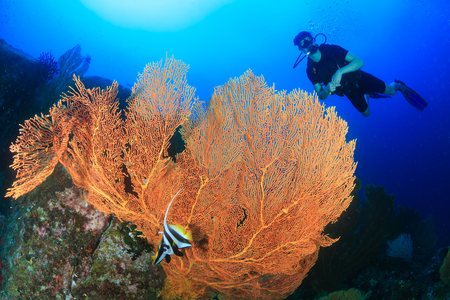 SCUBA Divers next to a huge, delicate but beautiful seafan on a tropical coral reef