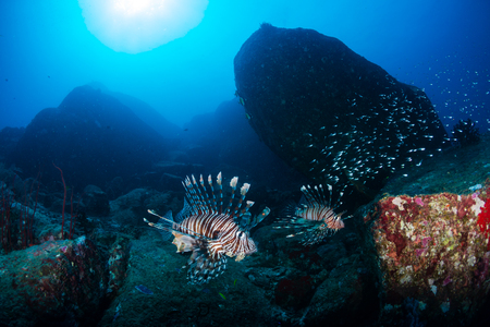 Colorful Lionfish patrolling a tropical coral reef in the early morning Stock Photo