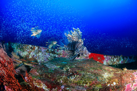 Beautiful Lionfish swimming over a coral encrusted shipwreck in a tropical ocean Stock Photo