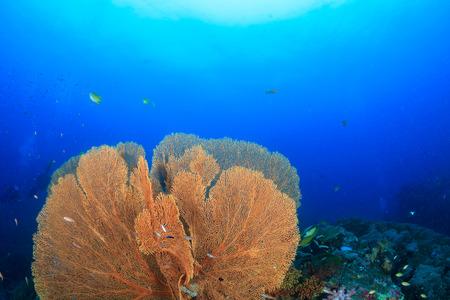 Huge, delicate underwater seafan on a tropical coral reef