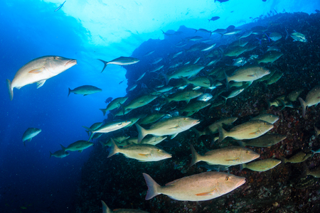 A school of Long Nose Emperor hunting on a tropical coral reef in the early morning