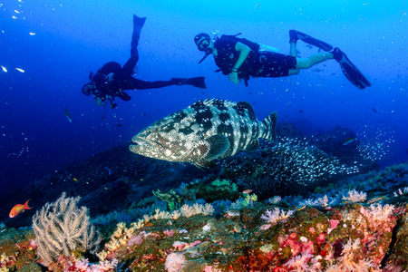 A large Malabar grouper being cleaned on a tropical coral reef whilst SCUBA divers watch from the background
