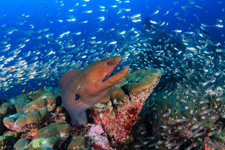 Large Giant Moray Eel in a coral hole surrounded by silvery fish on a tropical reef