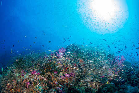 Tropical fish on a beautiful, healthy tropical coral reef
