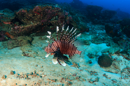 A solitary Lionfish patrolling a deep, dark tropical coral reef Stock Photo