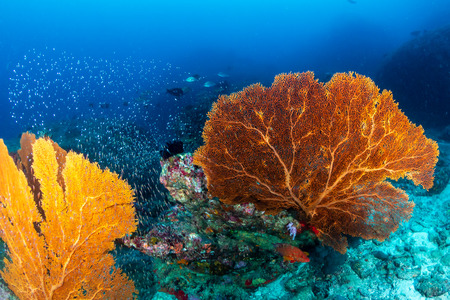 Beautiful but fragile seafans on a deep water tropical coral reef Reklamní fotografie