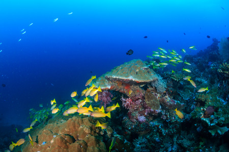 Snapper swimming around colorful corals on a tropical reef