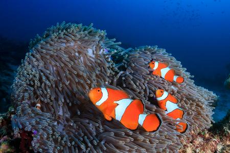 Una familia de hermosos peces payaso falso en su anémona huésped en un arrecife de coral tropical