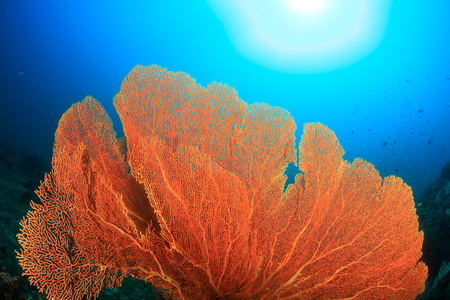 Huge fragile Gorgonian Sea Fans on a tropical coral reef