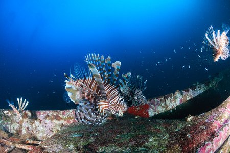 Several colorful Lionfish hunting at dawn on a deep shipwreck on a tropical coral reef
