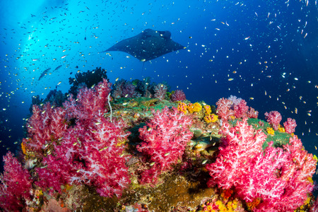 A background Oceanic Manta Ray swimming next to a vividly colored tropical coral reef at Black Rock, Myanmar