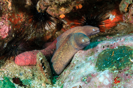 A family of Moray Eels hidden in a coral rock on a tropical reef