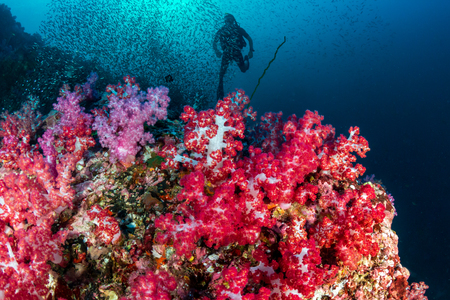 SCUBA divers over a beautiful, colorful tropical coral reef in the Mergui Archipelago, Myanmar