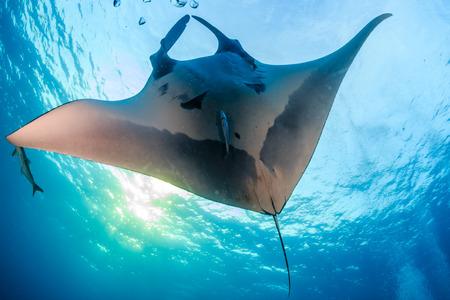 Ein riesiger majestätischer ozeanischer Manta Ray, der in einem klaren blauen tropischen Ozean schwimmt Standard-Bild