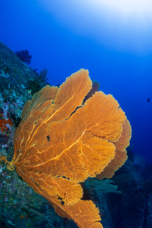 A beautiful, delicate seafan on a colorful tropical coral reef