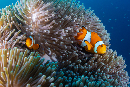 A family of cute Clownfish in their home anemone on a tropical coral reef