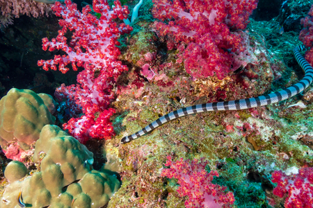 Banded Krait on a tropical coral reef Stock Photo